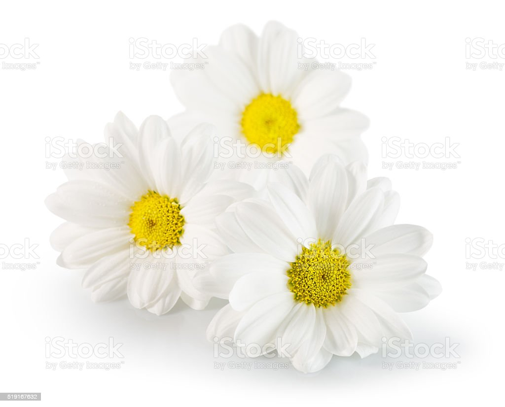 daisies isolated on the white background stock photo