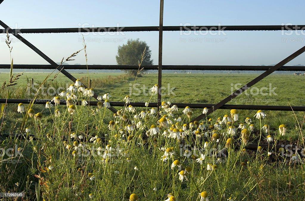 Daisies (Matricaria recutita) near the Fence royalty-free stock photo