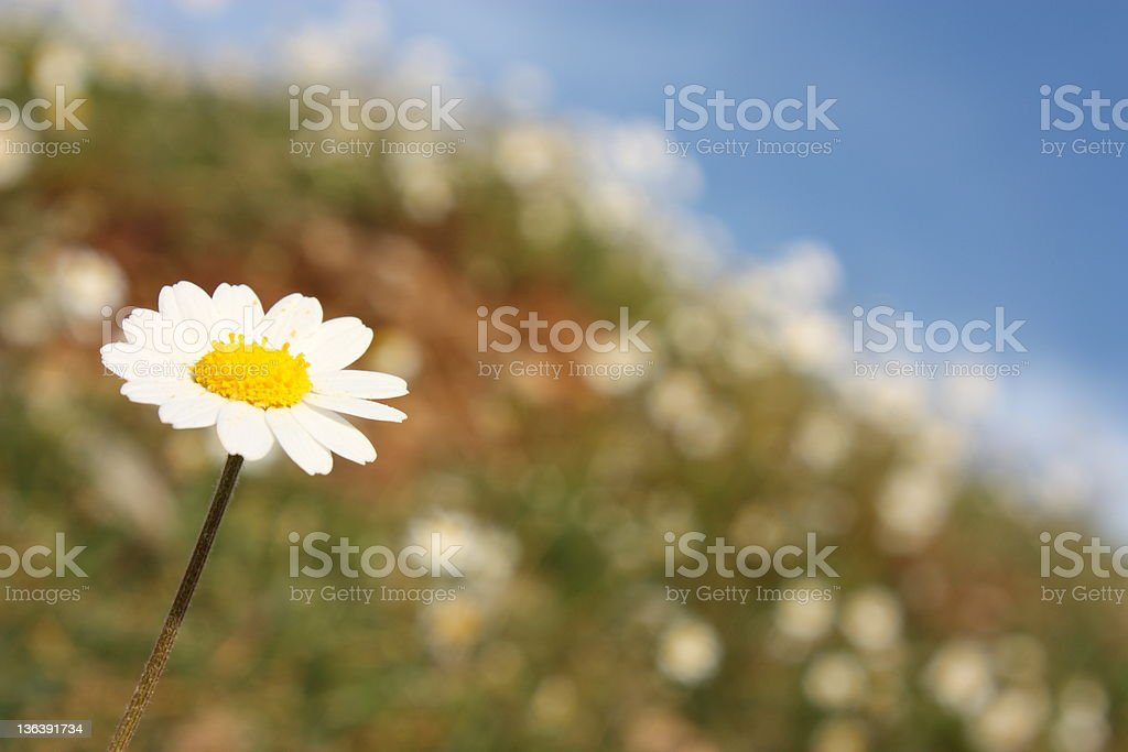 Daisies on a Blue Sky royalty-free stock photo