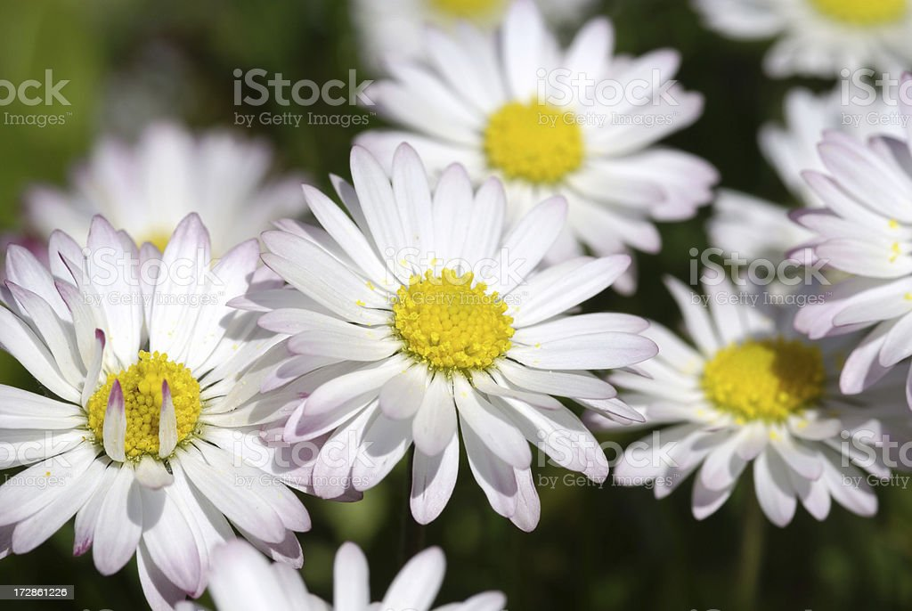 Daisies on a meadow royalty-free stock photo