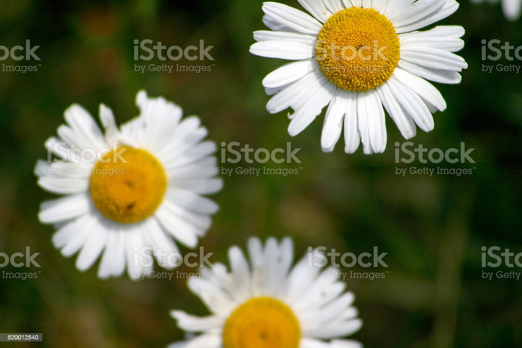 Daisies on green background stock photo