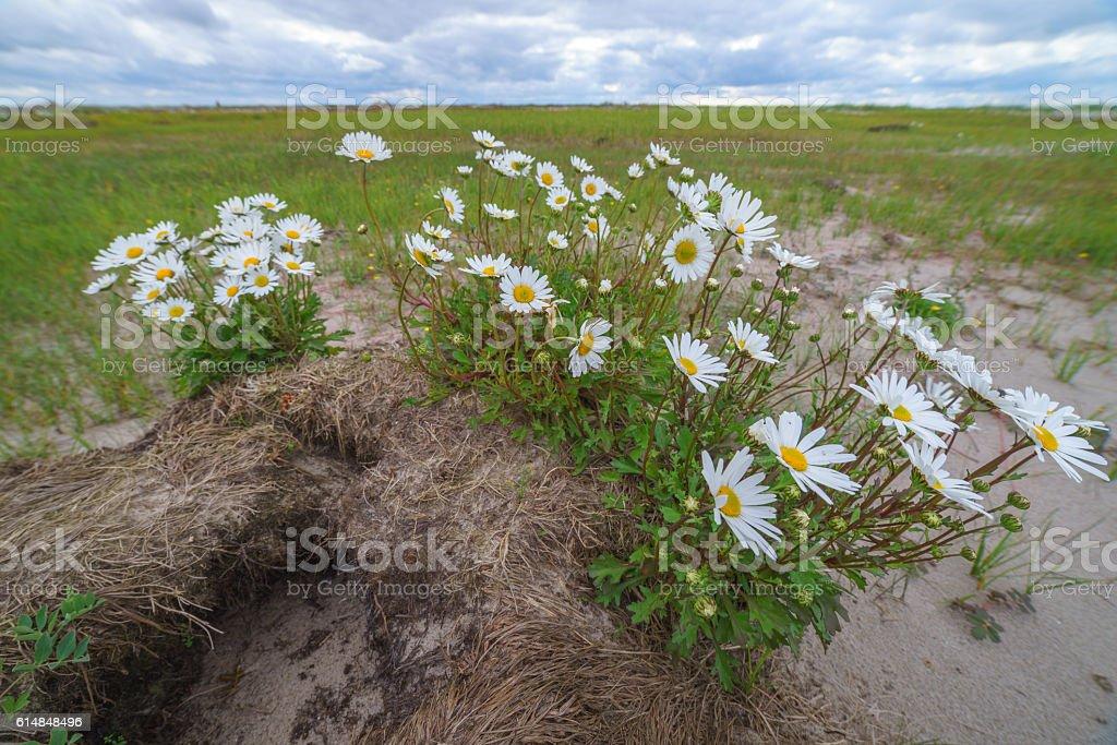 Daisies on the sandy shore, Sakhalin Island, Russia. stock photo