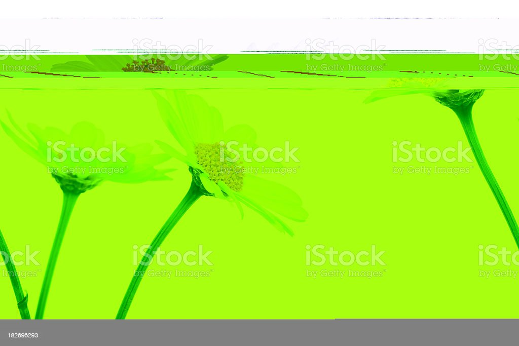 Daisies on white background royalty-free stock photo