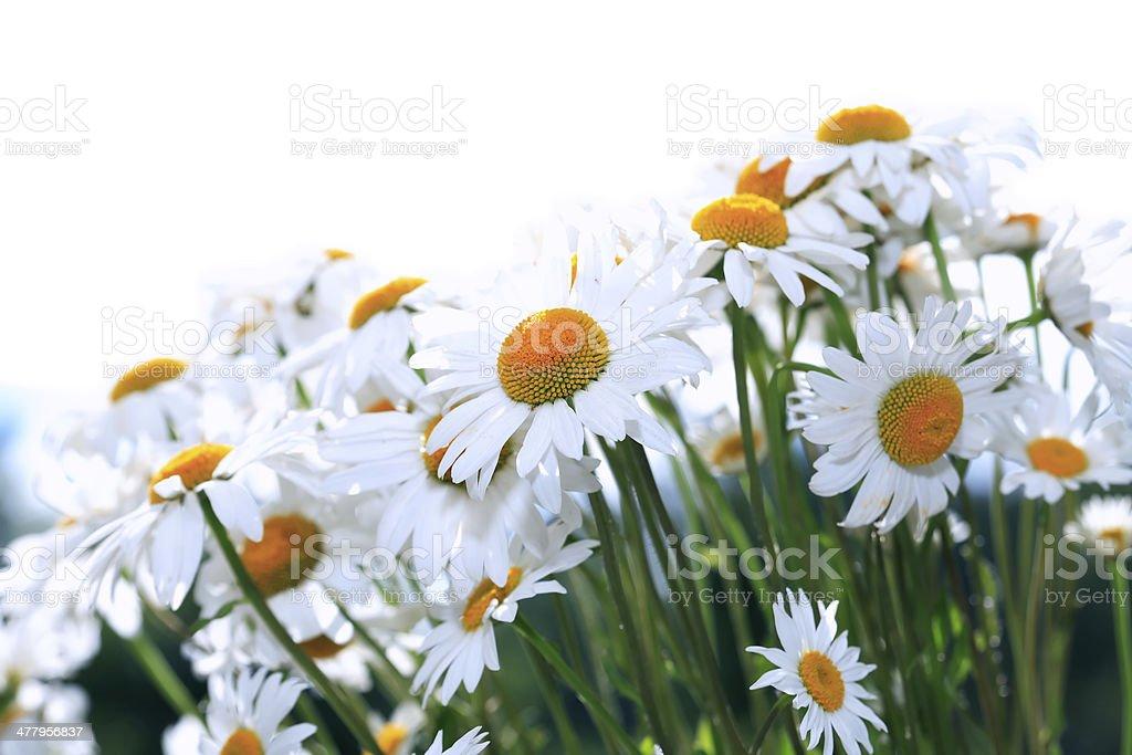 Daisies On White royalty-free stock photo