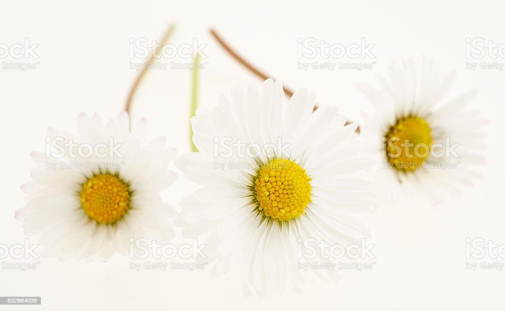 Daisies on White stock photo
