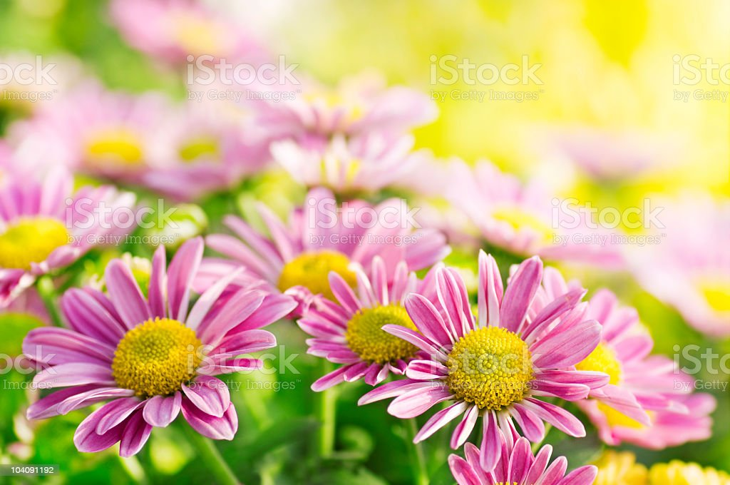 Daisies royalty-free stock photo