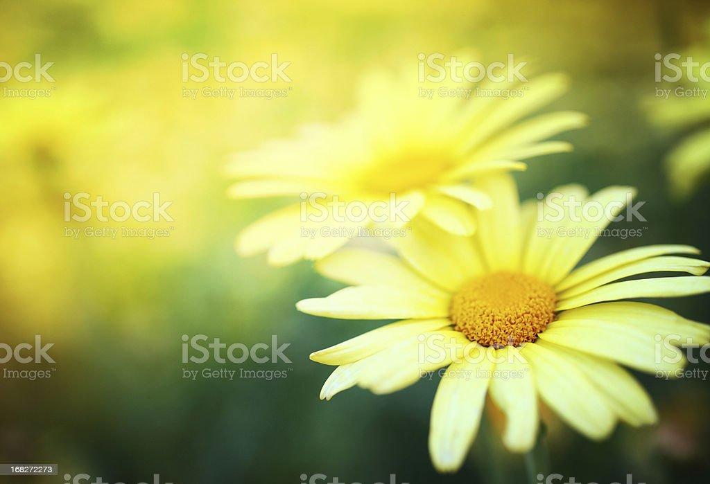 Daisies. royalty-free stock photo