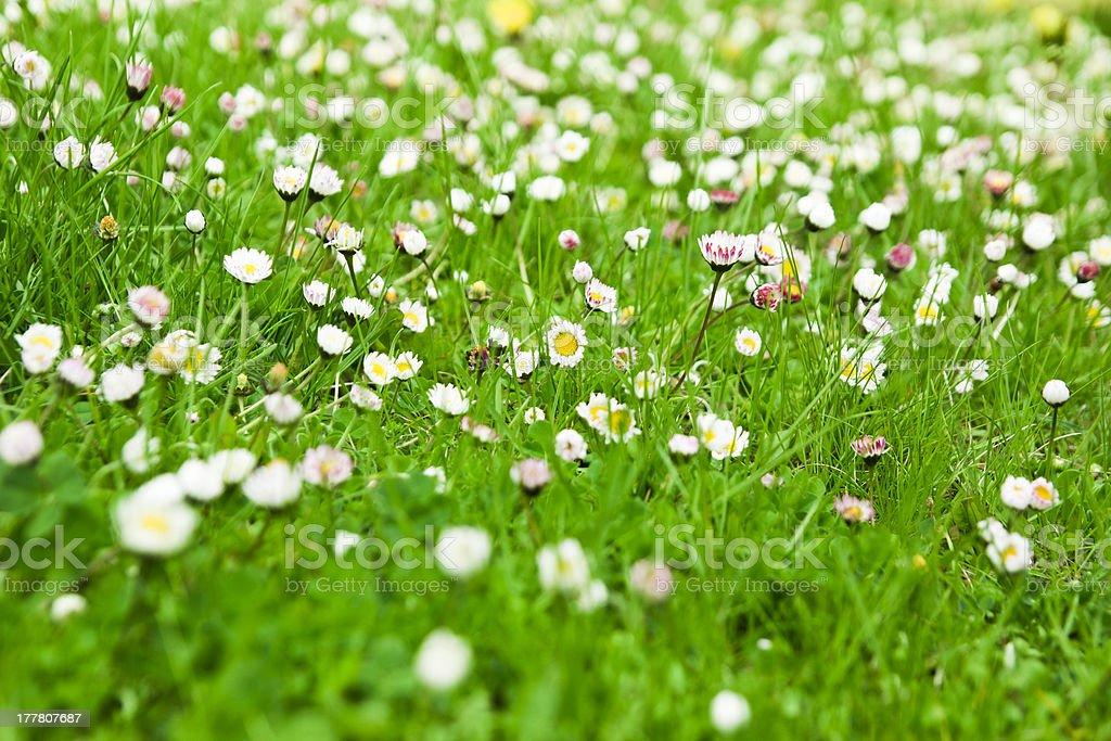 daisies royalty-free stock photo
