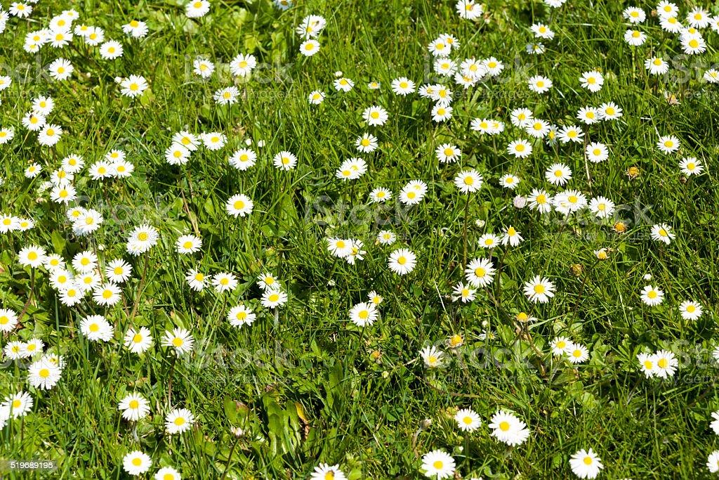 Daisies stock photo