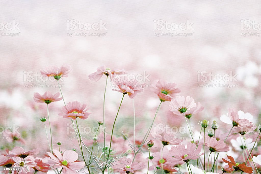 Daisies spring flowers stock photo