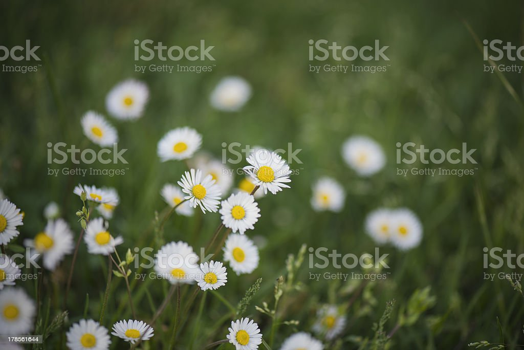 Daisies spring royalty-free stock photo