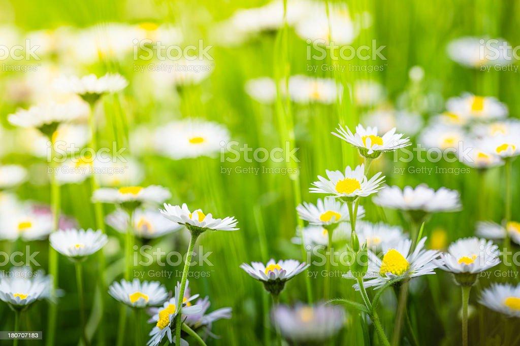 Daisies spring royalty-free stock photo
