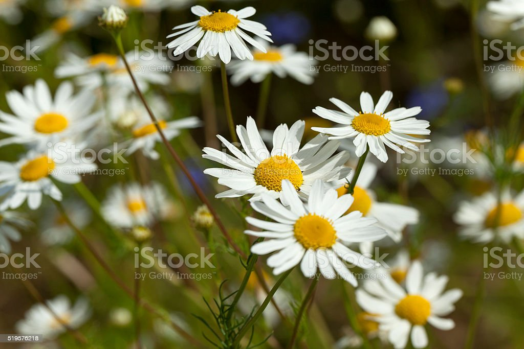 daisies , the spring stock photo