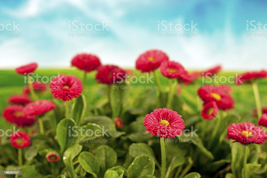Daisies under blue sky royalty-free stock photo