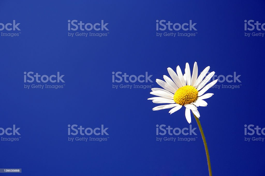 Daisy against a blue sky royalty-free stock photo