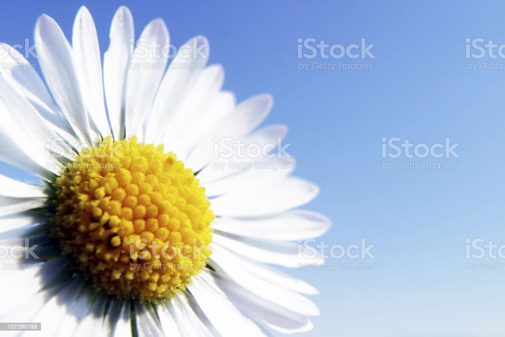 Daisy against the sky stock photo