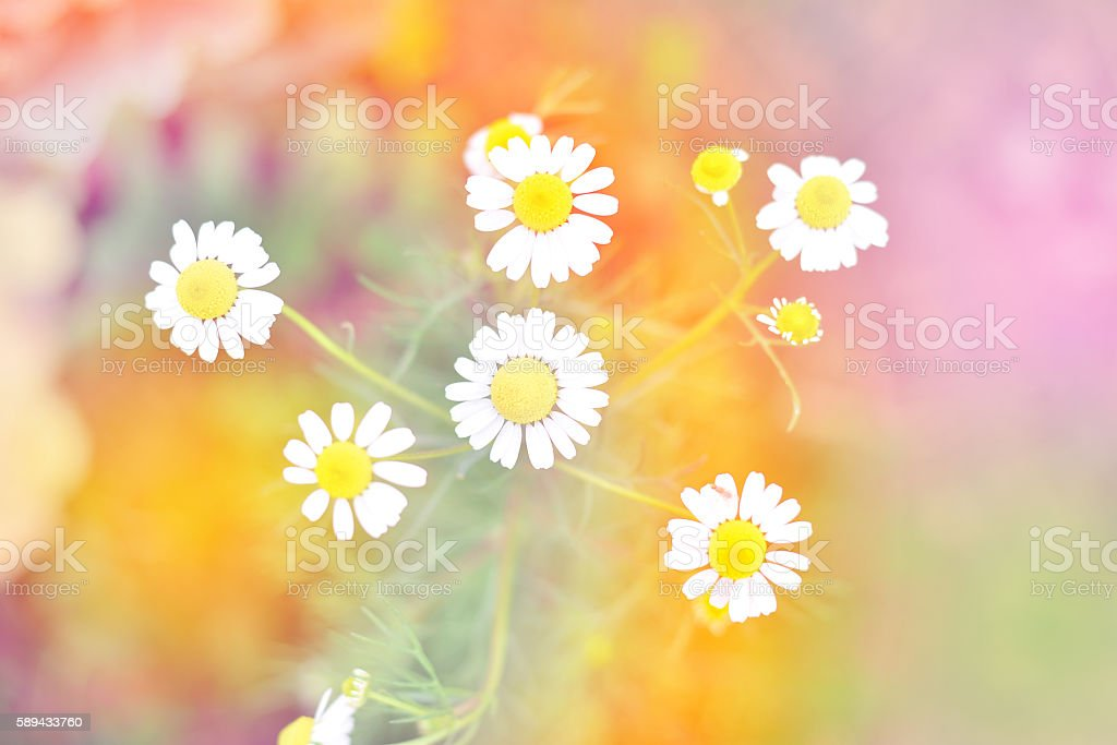 Daisy and bee with colourful rainbow stock photo