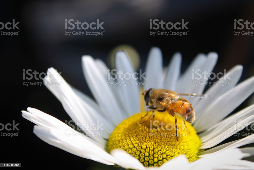 Daisy and insect stock photo