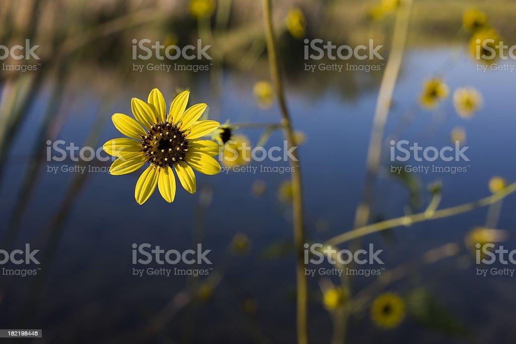 Daisy at Cuatro Cienegas marshes stock photo