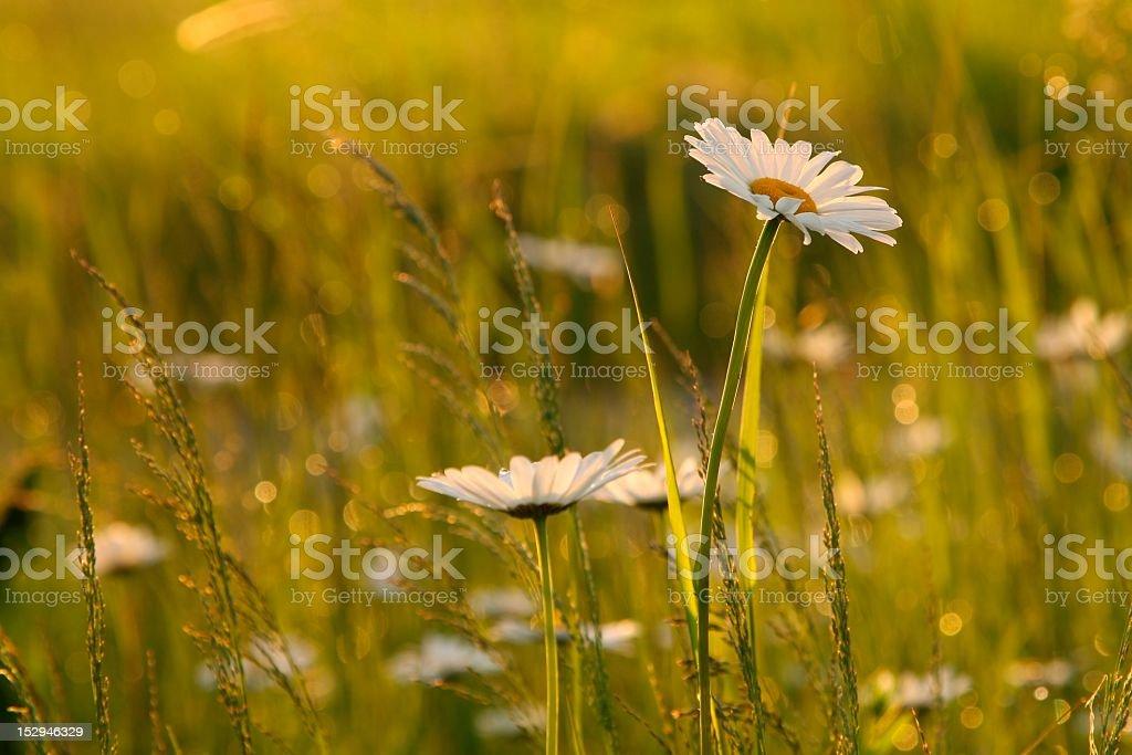 Daisy at dawn stock photo