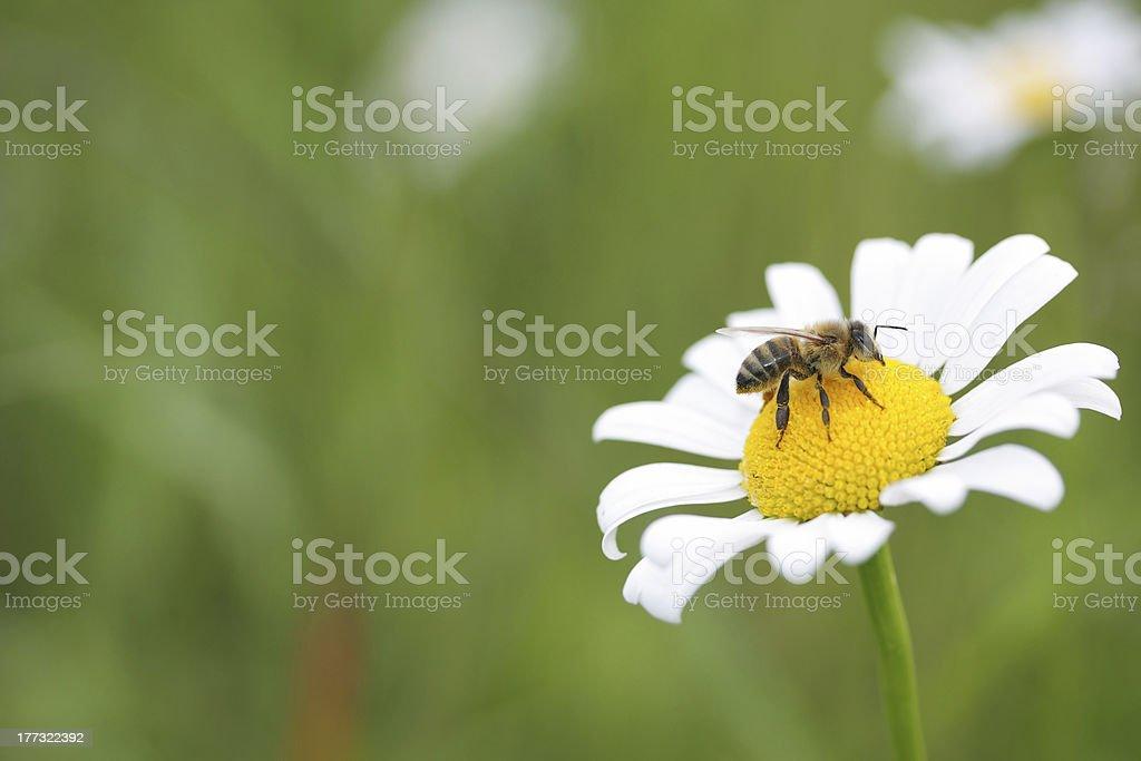 daisy & bee royalty-free stock photo