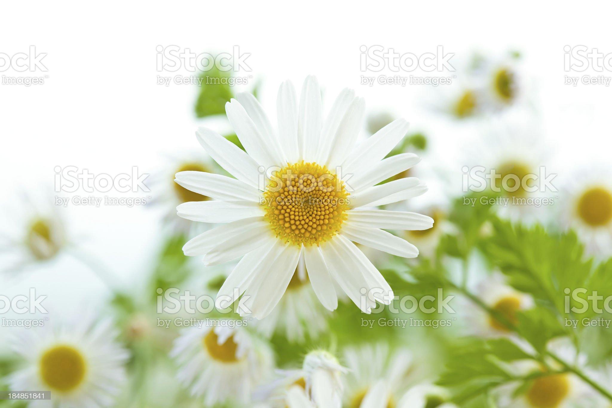 Daisy boquet high key macro royalty-free stock photo