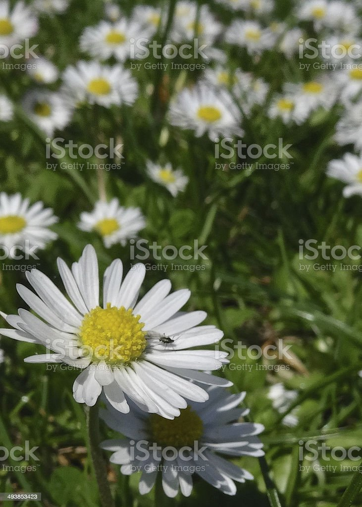 Daisy close up and tiny bug on a lawn royalty-free stock photo