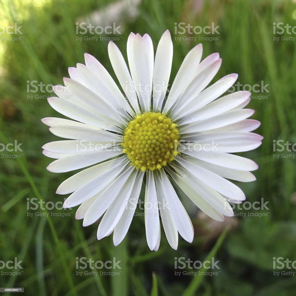 Daisy close up royalty-free stock photo