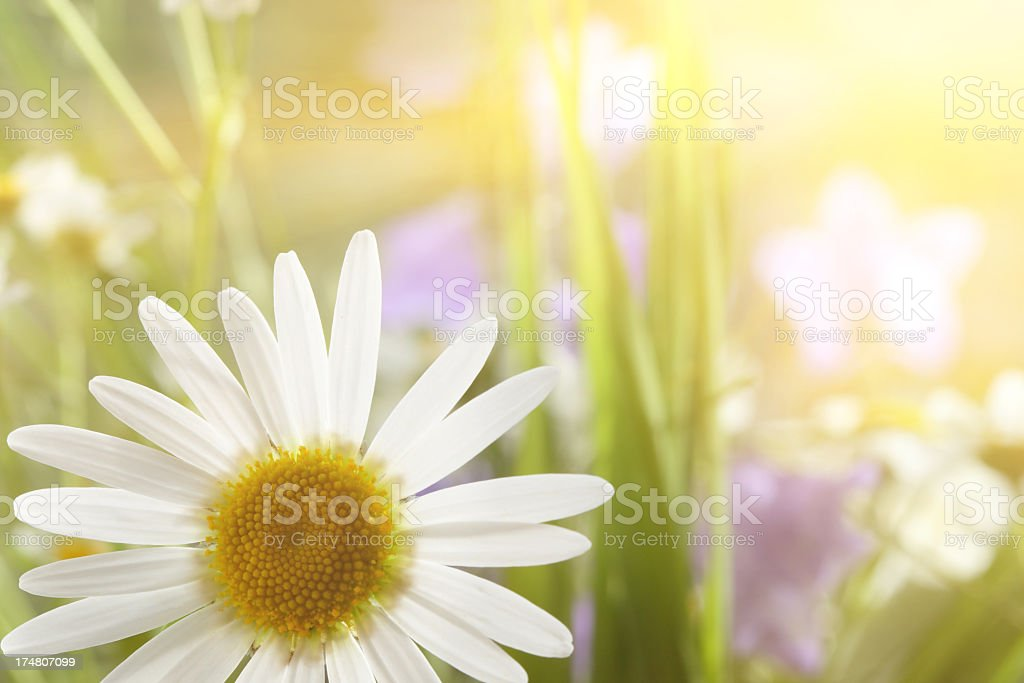 Daisy Close-Up In Sunlight royalty-free stock photo