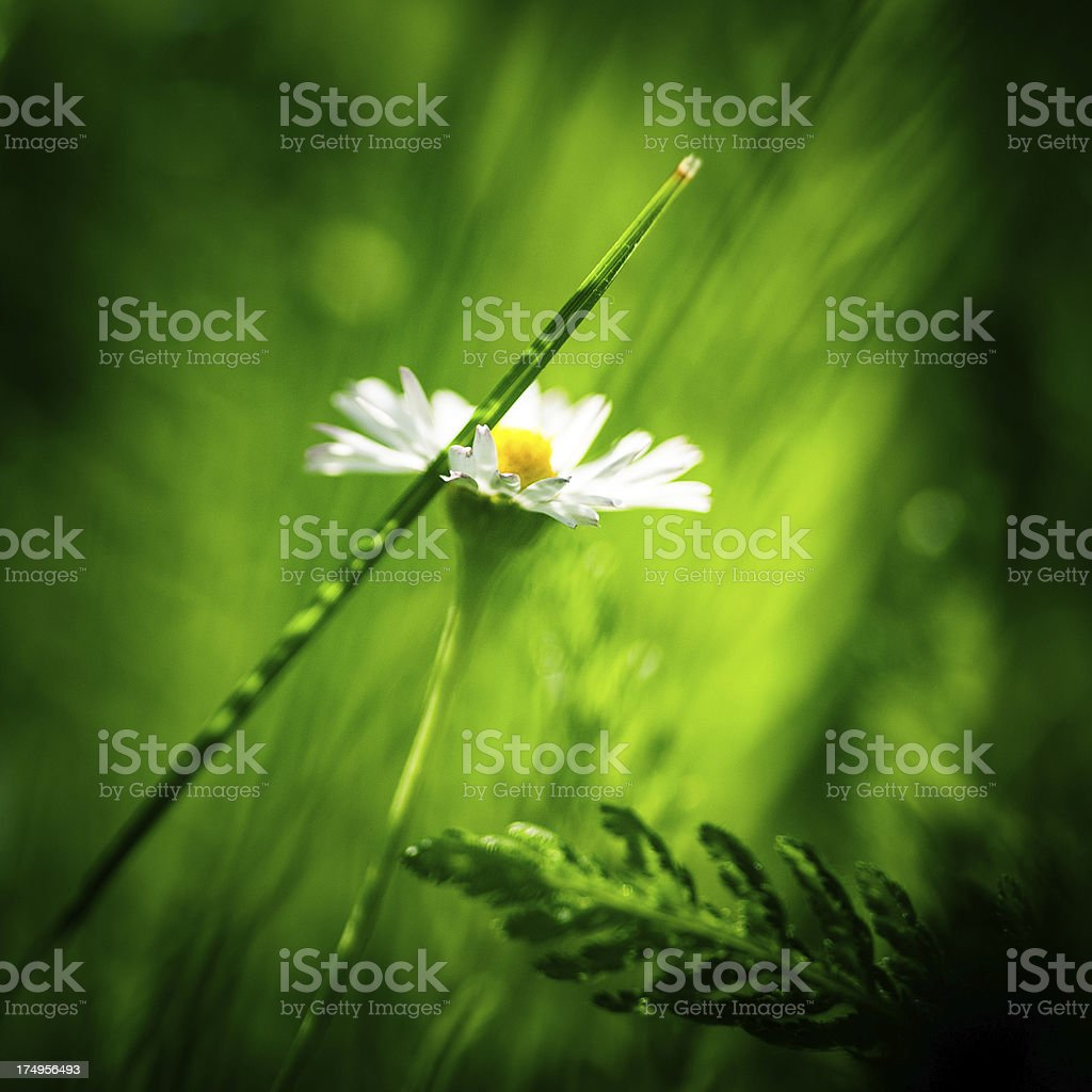 Daisy close-up royalty-free stock photo