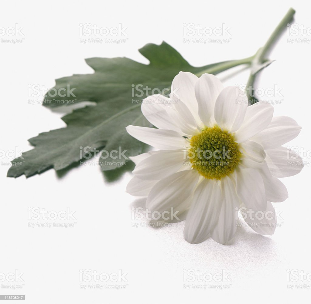 Daisy cut out on white royalty-free stock photo