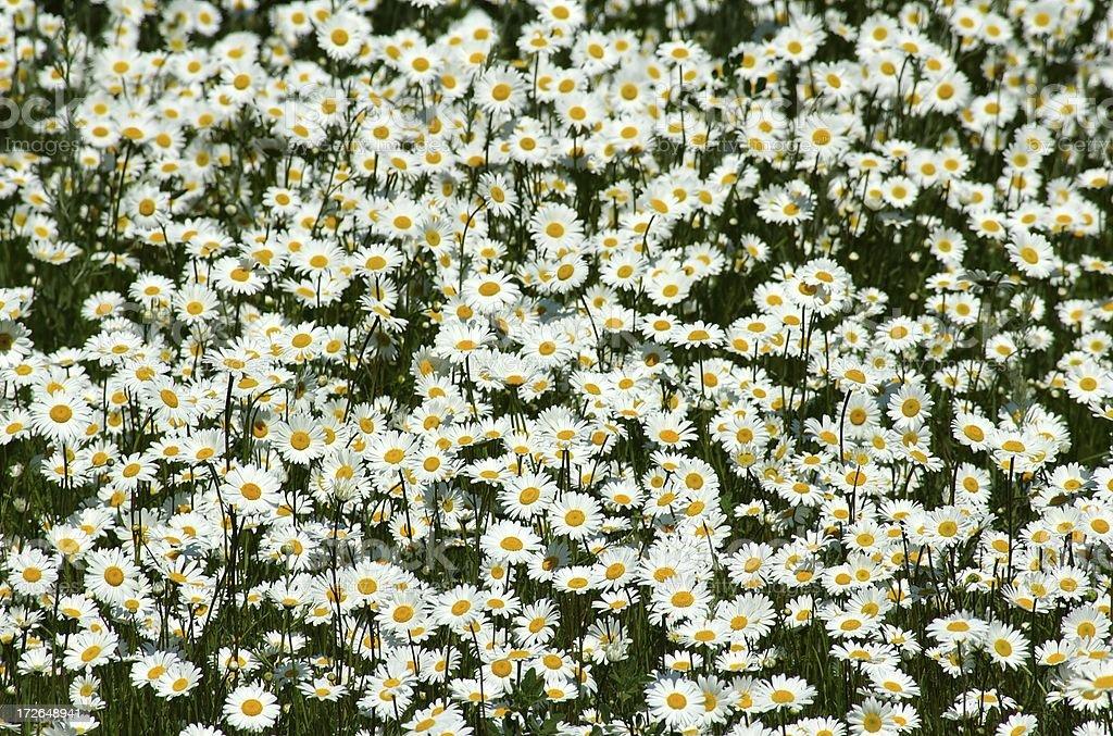 Daisy Dreams royalty-free stock photo