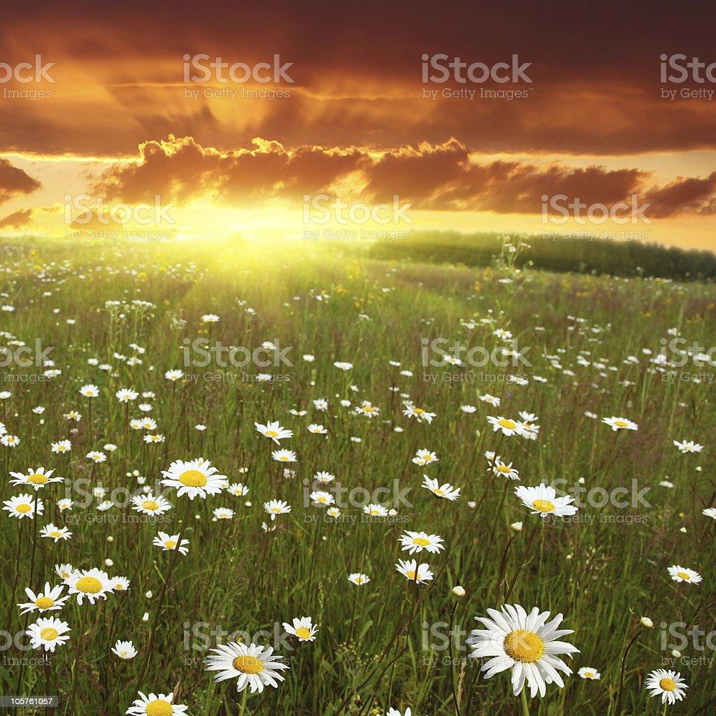 Daisy field at sunset. stock photo