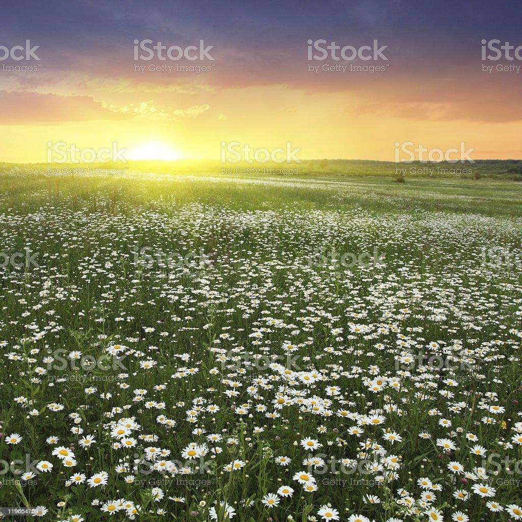 Daisy field at sunset. royalty-free stock photo