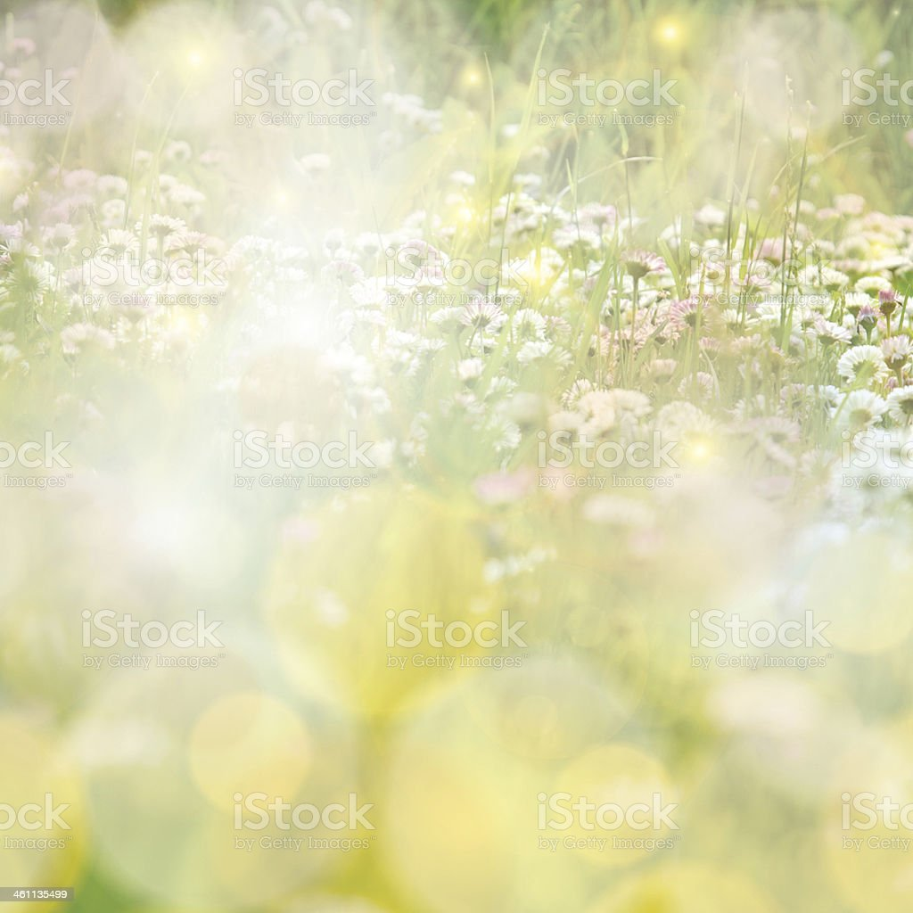 Daisy field colorful sun light background stock photo