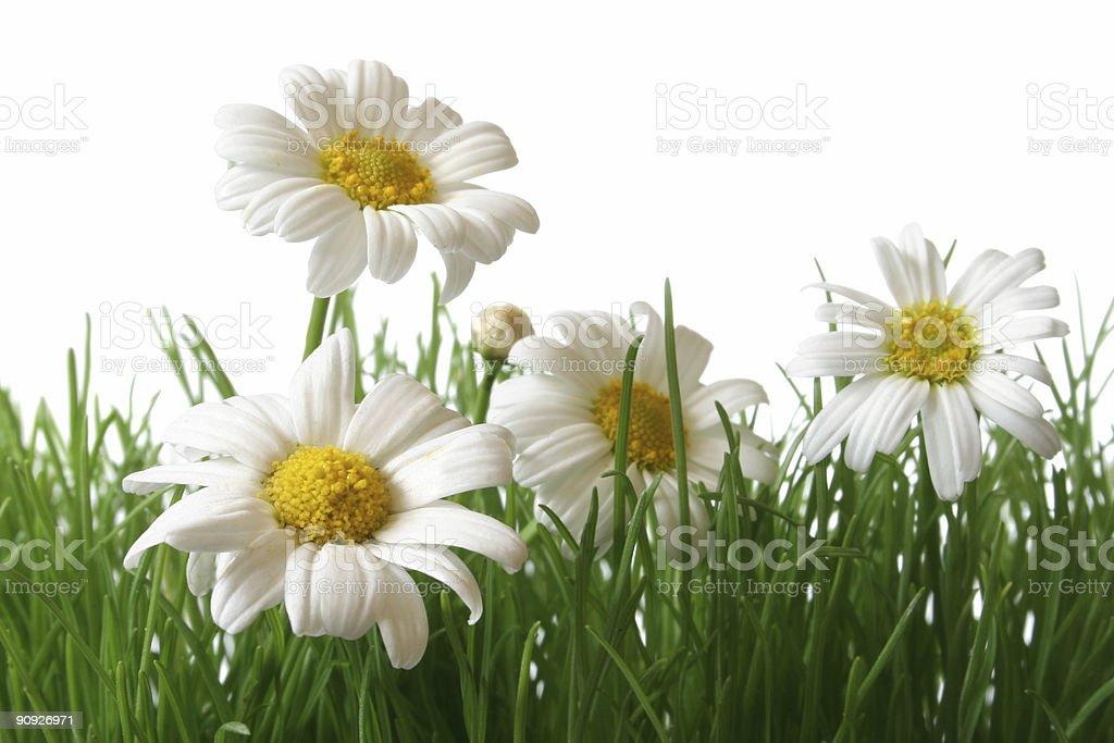 Daisy Field Macro royalty-free stock photo