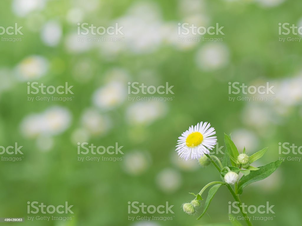 Daisy fleabane in the field of the early summer stock photo