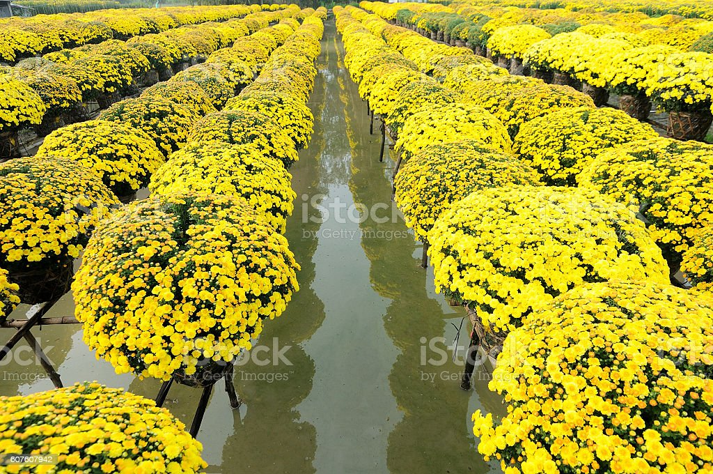 Daisy floating flower field in Sadec, Dong Thap, Vietnam stock photo
