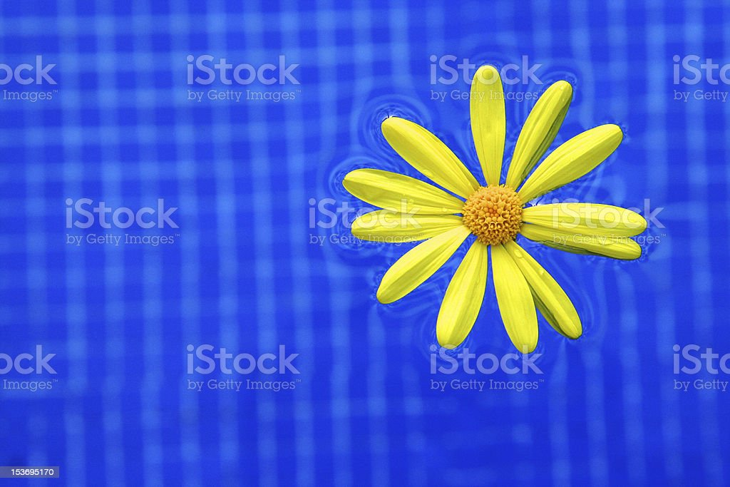 Daisy floating on a pool royalty-free stock photo