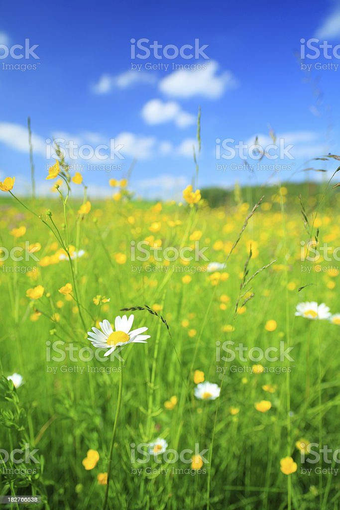 Daisy flower and defocused meadow royalty-free stock photo