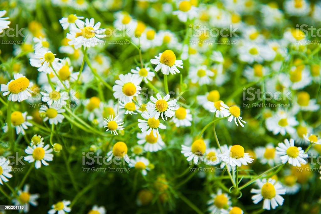 Daisy flower background stock photo