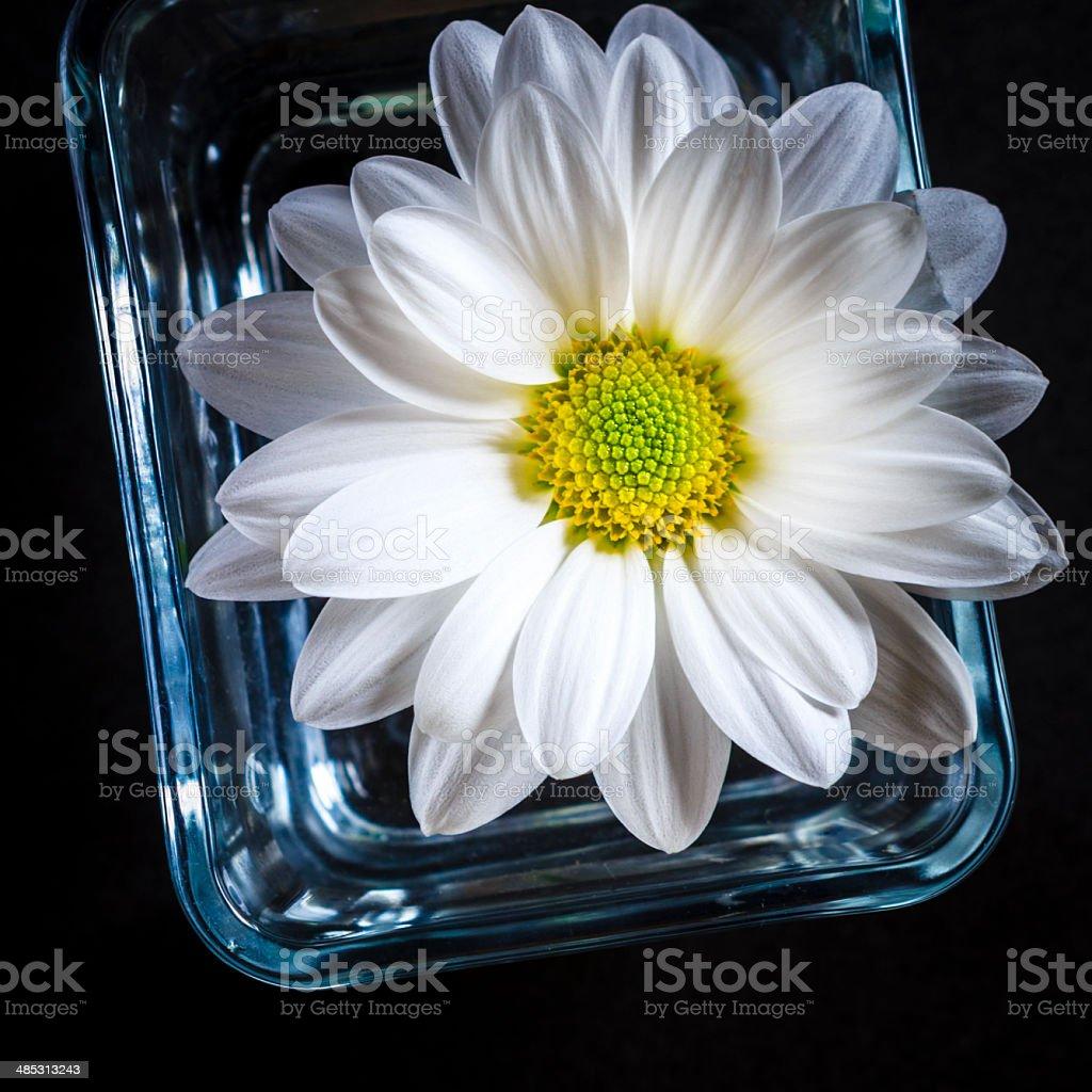 daisy flower black royalty-free stock photo