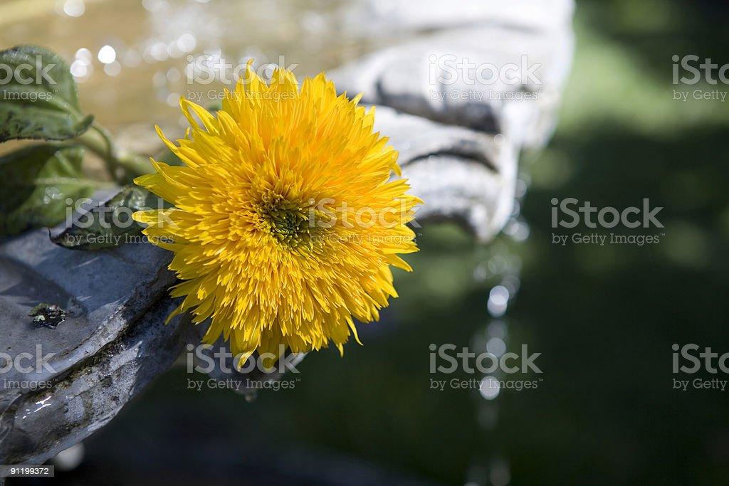 Daisy flower fountain royalty-free stock photo