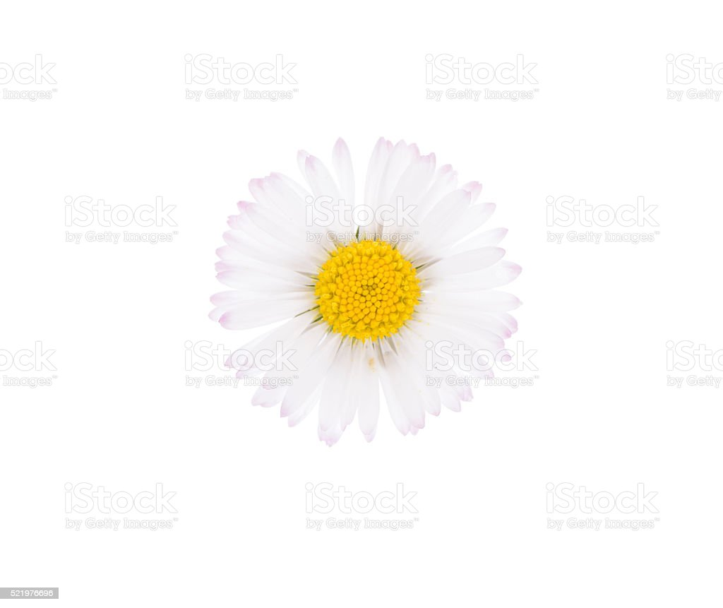 Daisy flower head isolated on white stock photo