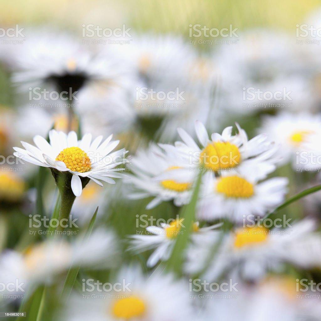 Daisy Flower In A Meadow stock photo