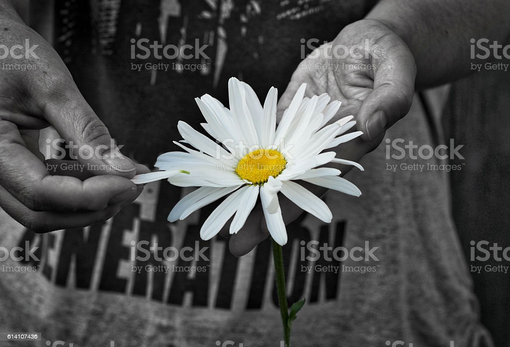 Daisy flower in human hands stock photo