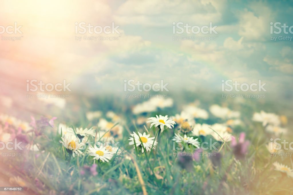 Daisy flower in meadow and blue sky with clouds stock photo