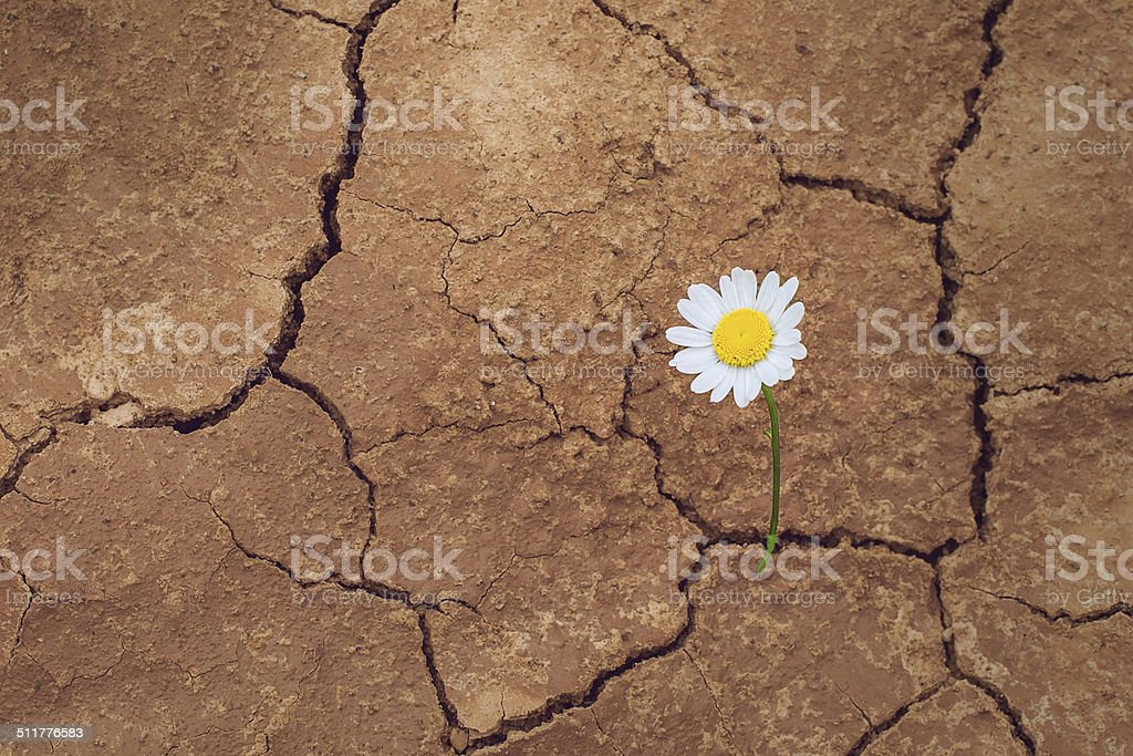 daisy flower in the desert stock photo