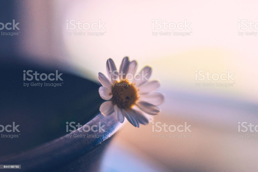 Daisy flower in wooden bowl stock photo