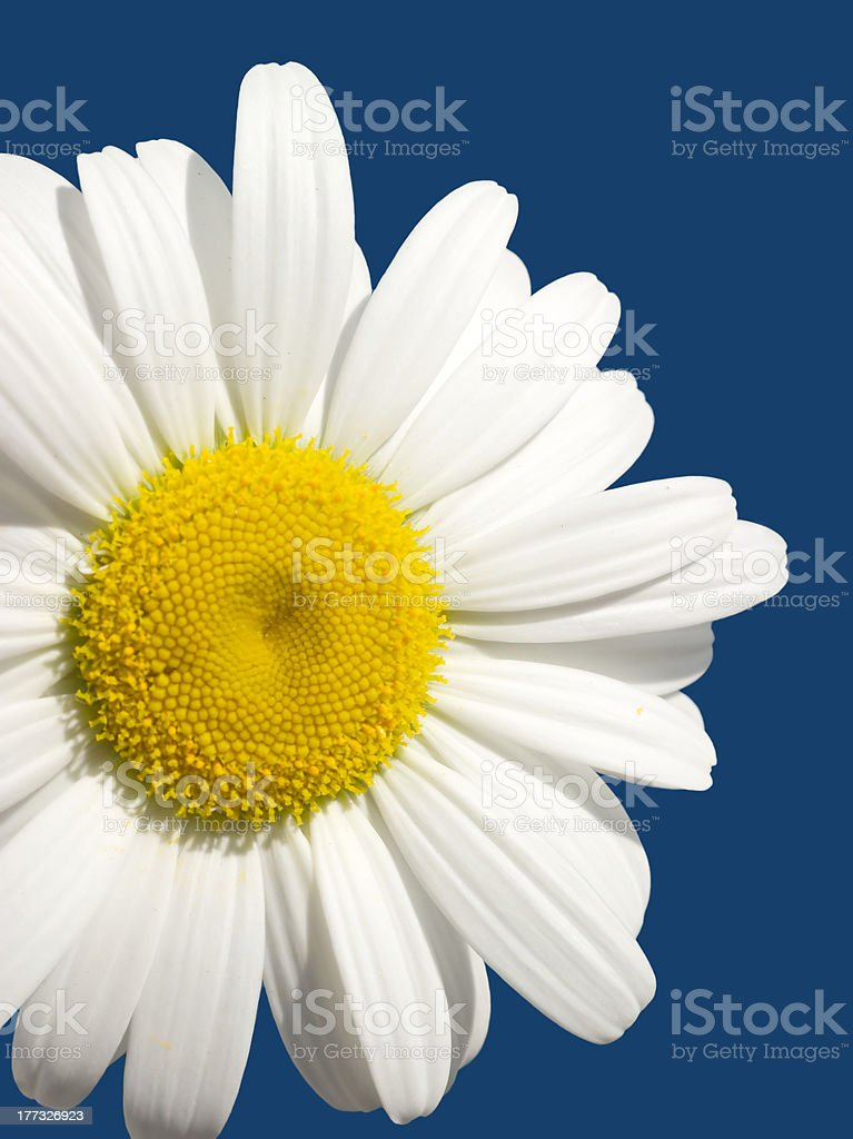 Daisy flower isolated on blue royalty-free stock photo